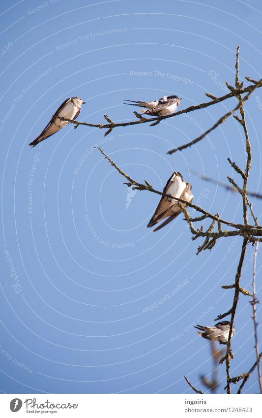 Palaver Natur Tier Himmel Zweig Wildtier Vogel Schwalben Rauchschwalbe Tiergruppe beobachten Beratung hocken sitzen warten frei natürlich blau grau schwarz weiß