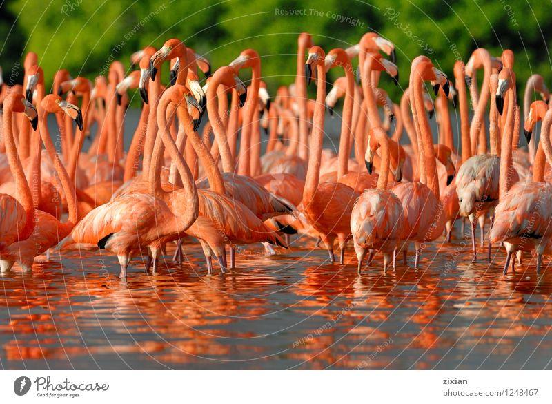 größere Flamingos Tier Wildtier Vogel Tiergesicht Tiergruppe Herde Schwarm Teleskop Wasser Ziffern & Zahlen Bewegung fliegen Fressen laufen Wachstum rosa schön