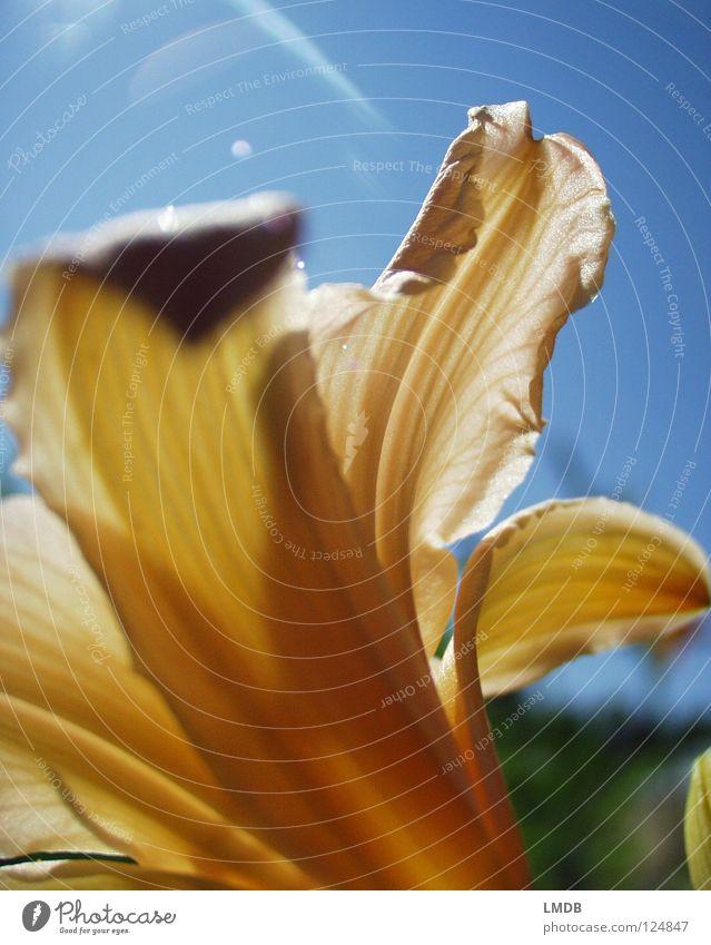 Lilie Himmel blau weiß schön Pflanze Sommer Blume gelb Frühling Blüte orange Wetter Rücken Blühend zart leicht