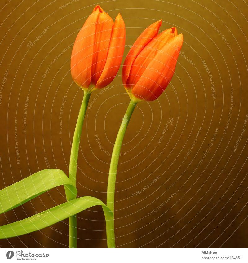 PaarTanz Blume grün Freude Blüte Frühling braun 2 orange paarweise Stengel Tulpe synchron Duett