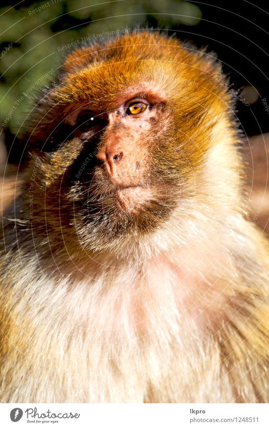 Afrika in Marokko Zeder Körper Gesicht Mutter Erwachsene Mund Zoo Umwelt Natur Tier Park Urwald Behaarung Denken Neugier niedlich wild Wut braun schwarz