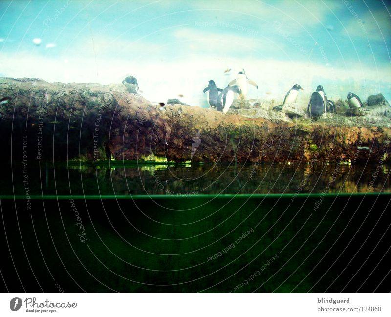 Südpol hinter Glas Zoo Tier Gehege Pinguin Königspinguine Sicherheitsglas Trauer dreckig stehen Fenster gefangen Blick besuchen staunen schwarz weiß nachgebaut