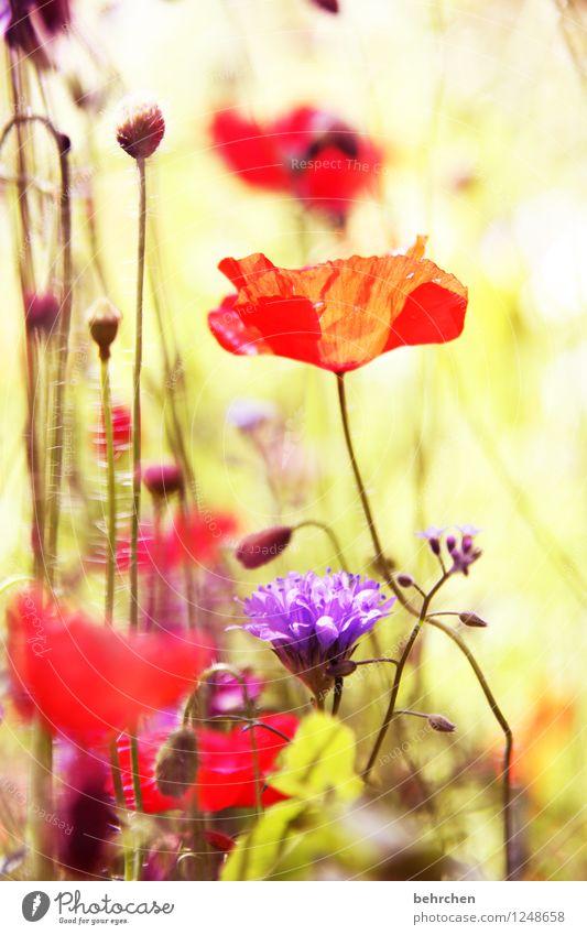 kein mo(h)ntag ohne mohn! Natur Landschaft Frühling Sommer Herbst Schönes Wetter Pflanze Blume Gras Blatt Blüte Wildpflanze Mohn Garten Park Wiese Feld Blühend