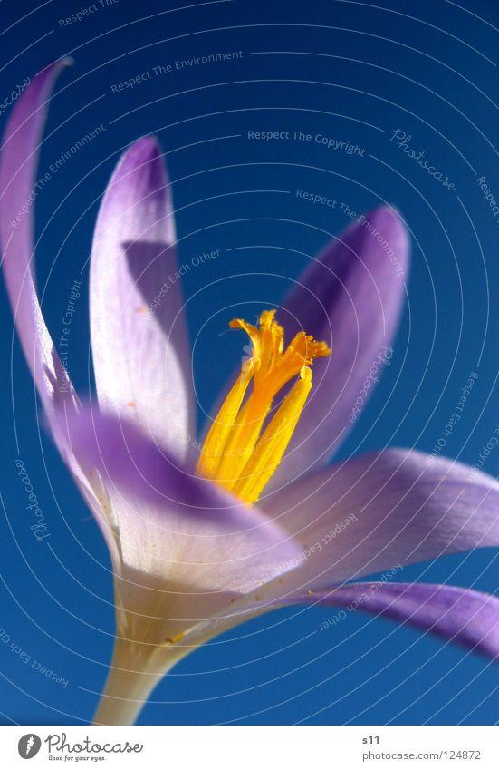 Krokus Am Himmel Natur blau Pflanze Blume Frühling Blüte orange Kraft leuchten Schönes Wetter violett Stempel Blütenblatt himmelblau Krokusse