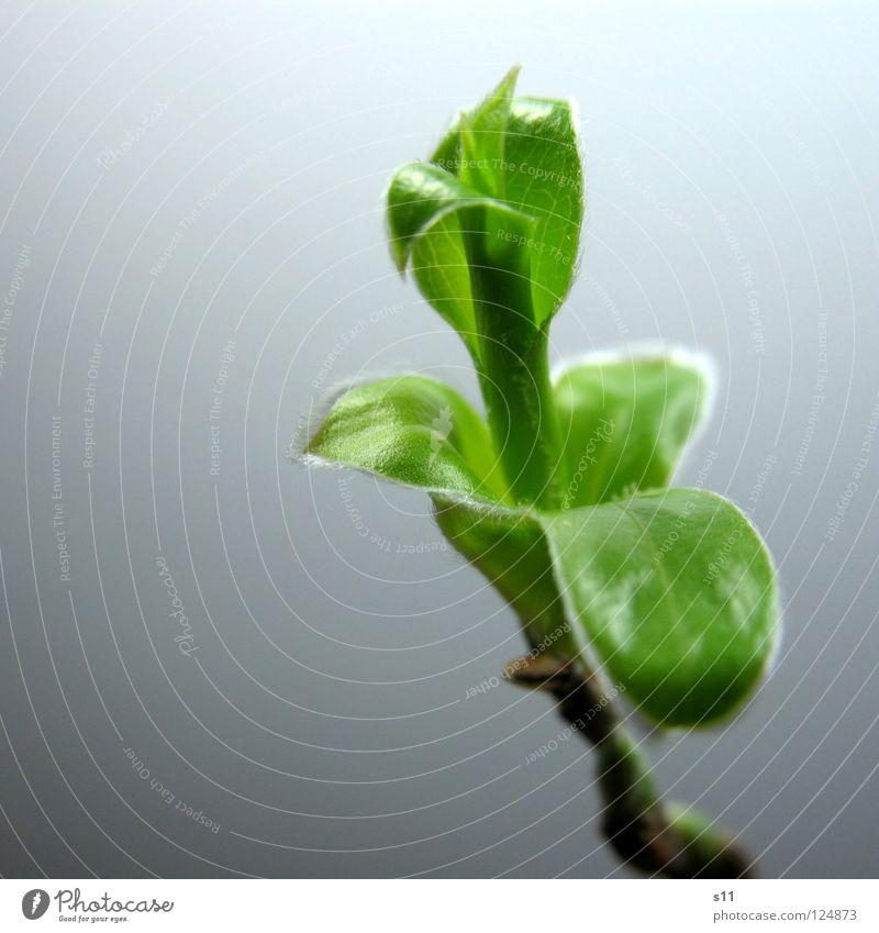 Trieb Leben Natur Pflanze Frühling Blatt frisch klein neu grün Kraft unrasiert hellgrün Ast Ästchen Blütenknospen Häärchen Nahaufnahme Makroaufnahme