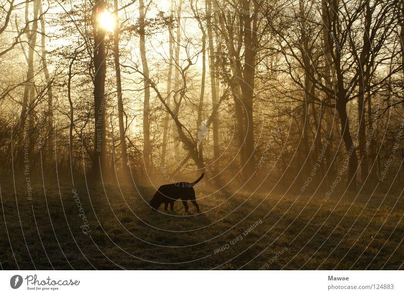 Hund im Morgennebel Wald Nebel Labrador Baum Gegenlicht Schattenspiel Wiese Schwanz Angelrute schwarz Frieden Sonne Ast Gassi