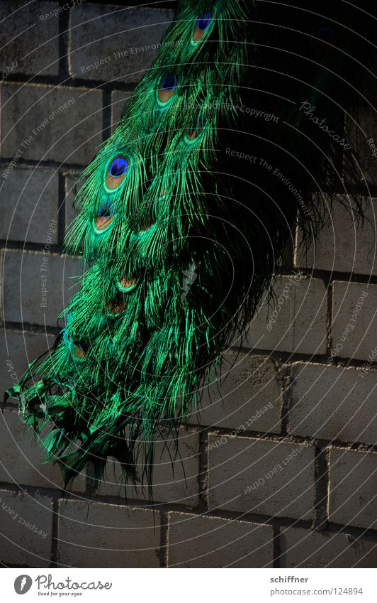Federfall grün blau Tier Mauer Vogel glänzend türkis Wiedervereinigung schimmern Pfau Boa Pfauenfeder
