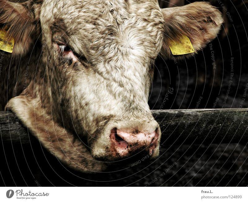 armes Kalb Bauernhof dreckig eng Fell gefangen Metzger Rind Vieh Trauer elend rosa Landwirtschaft Tier Denken Säugetier Schlachtvieh Ohr Kalbskopf Traurigkeit