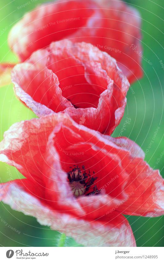Mohntag Natur Pflanze grün Blume rot Blatt Blüte Stillleben Mohnblüte