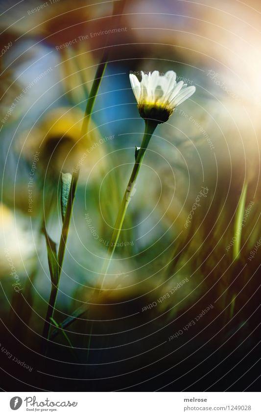 Empore elegant Stil Design Natur Himmel Sonne Sommer Blume Blatt Blüte Wildpflanze Topfpflanze Margerite Blütenknospen Blütenstiel Garten Lichtschein