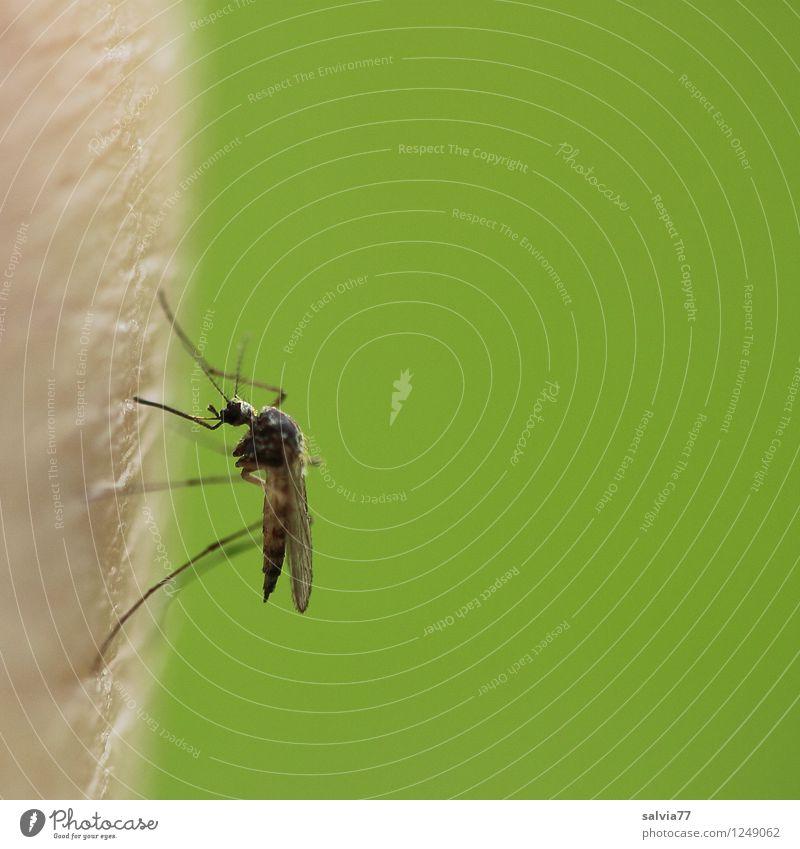 Plagegeist Umwelt Natur Tier Sommer Wildtier Insekt Stechmücke Mückenplage 1 Fressen sitzen bedrohlich frisch klein lecker dünn Spitze stachelig grün genießen