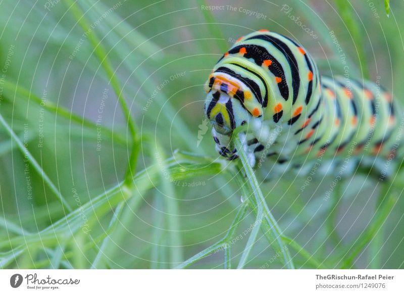 Raupe MK II Tier Schmetterling 1 blau mehrfarbig gold grün orange rosa schwarz weiß krabbeln rüebliraupe Möhre Fenchel Sträucher Pflanze Lebensmittel Fressen