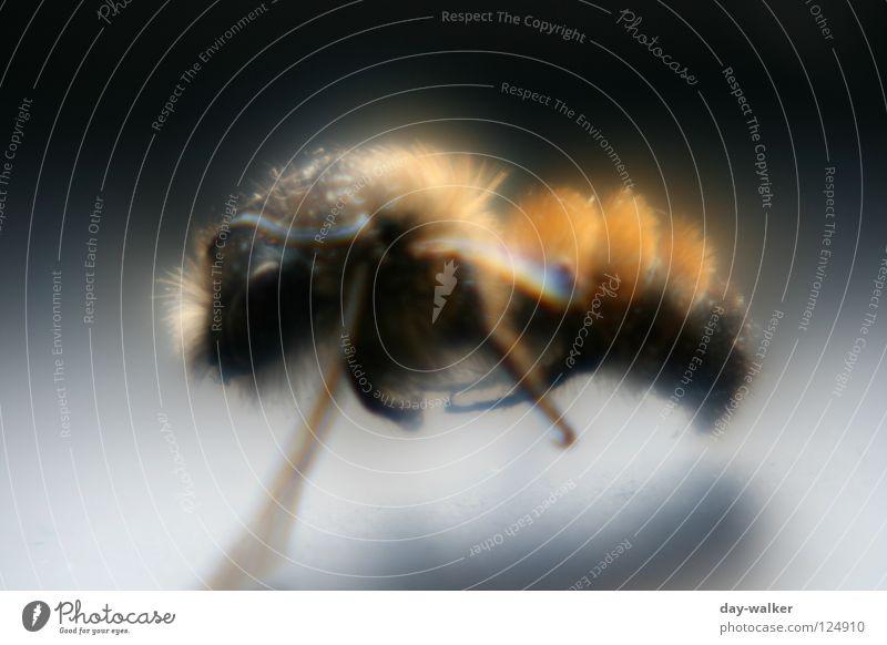 Biene im Rampenlicht Insekt stechen Pollen Honig Staubfäden Fühler Reflexion & Spiegelung Schatten Makroaufnahme Nahaufnahme schön Nektar Haare & Frisuren