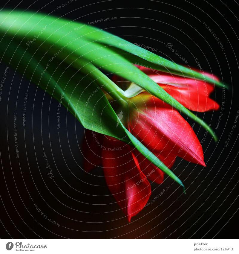 Tulpe! Natur grün rot Blume Sommer Freude Blüte Frühling rosa Symbole & Metaphern Stengel Tulpe