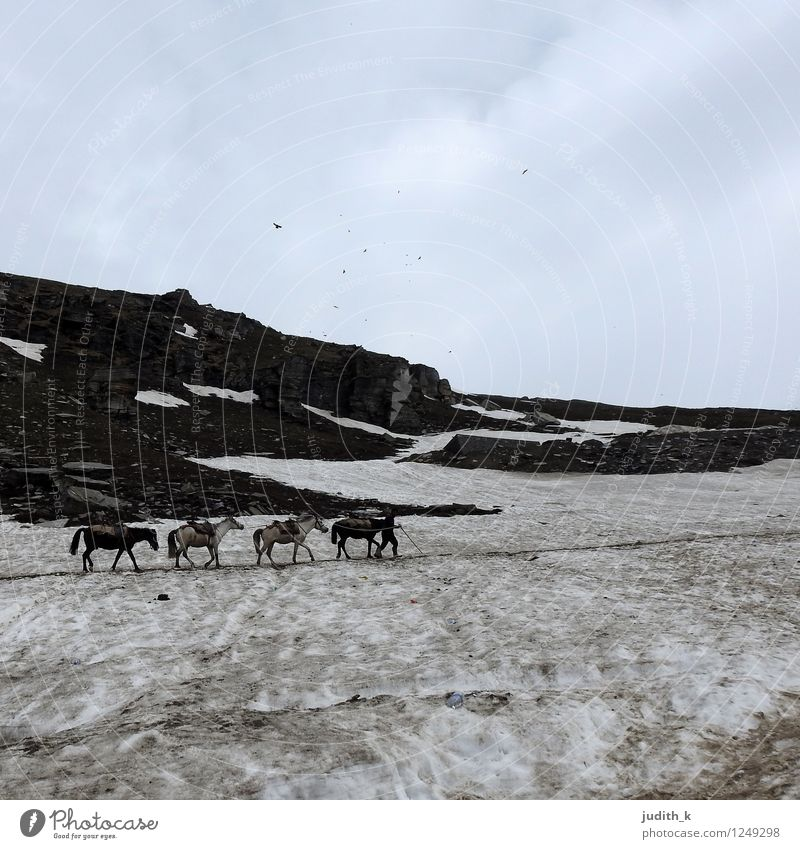 4 Pferde im Schnee Natur Winter Berge u. Gebirge Himalaya Tier Tiergruppe frieren gehen wandern kalt Willensstärke Mut Ausdauer Abenteuer anstrengen Bewegung