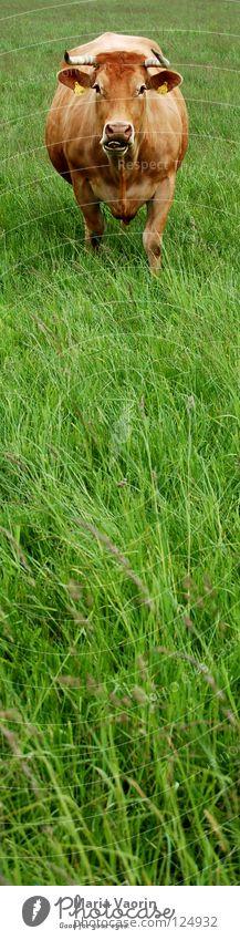 Muh-Kuh Tier Wiese Gras Feld Landwirtschaft Weide Horn Rind Landleben Vieh Milcherzeugnisse Milchkuh muhen Milchwirtschaft