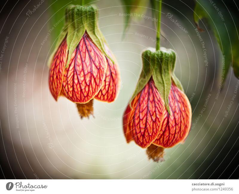 Malve Natur Pflanze grün schön Farbe Sommer rot ruhig gelb Blüte klein Freundschaft orange ästhetisch Blühend Lebensfreude