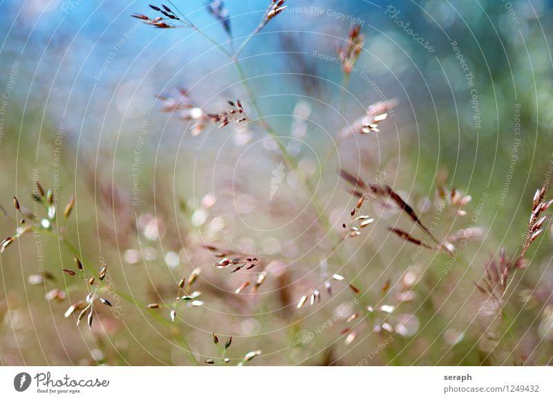 Wiese Gras Halm mehrfarbig frisch Sommer ländlich Natur natürlich Schwache Tiefenschärfe Kräuter & Gewürze Pflanze Schilfrohr Unkraut Blatt Samen rush Riedgras