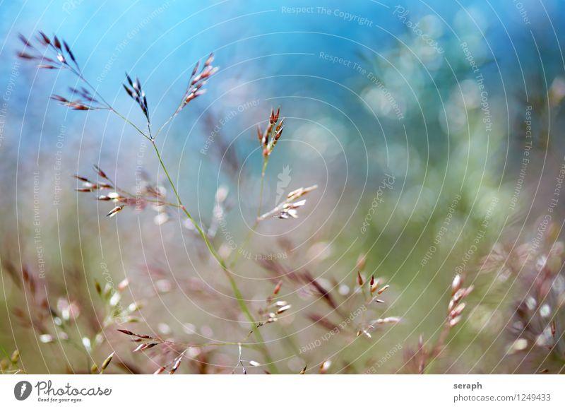 Sommerwiese Gras Halm mehrfarbig frisch ländlich Natur natürlich Wiese Unschärfe Kräuter & Gewürze Pflanze Schilfrohr Riedgras Unkraut Kräutergarten Blatt Samen