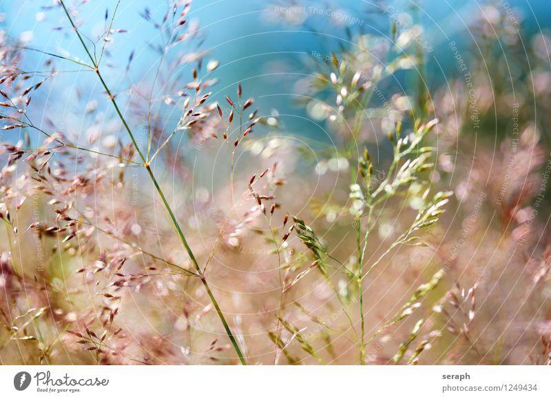 Grasland Halm mehrfarbig frisch Sommer ländlich Natur natürlich Wiese Schwache Tiefenschärfe Kräuter & Gewürze Pflanze Schilfrohr Riedgras Unkraut Kräutergarten