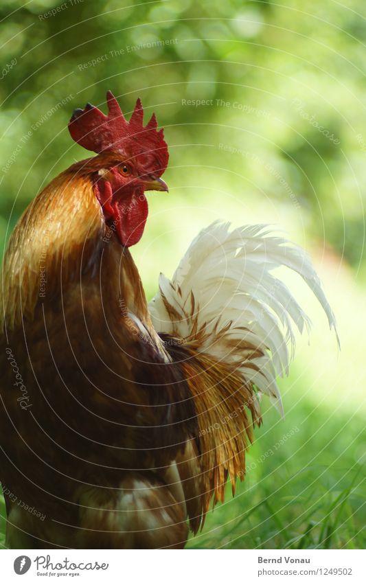 Eitler Kerl Pflanze grün weiß rot Tier Gras stehen Haustier Tiergesicht Schwanz Nutztier Hahn gefiedert eitel Kamm stolzieren