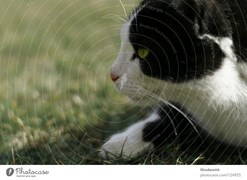 DU GEHÖRST MIR! Katze Gras Pfote Wiese schwarz weiß grün Barthaare Pirsch Konzentration Wachsamkeit springen fortsetzen Physik Sommer Säugetier Hauskatze Ohr
