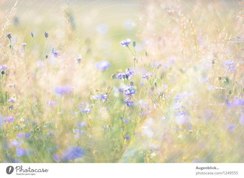 schöner 30. August... Natur Sommer Wärme Blume Gras Wiese Feld atmen Blühend genießen frisch glänzend saftig blau gelb gold grün träumen gleich Hoffnung Zeit