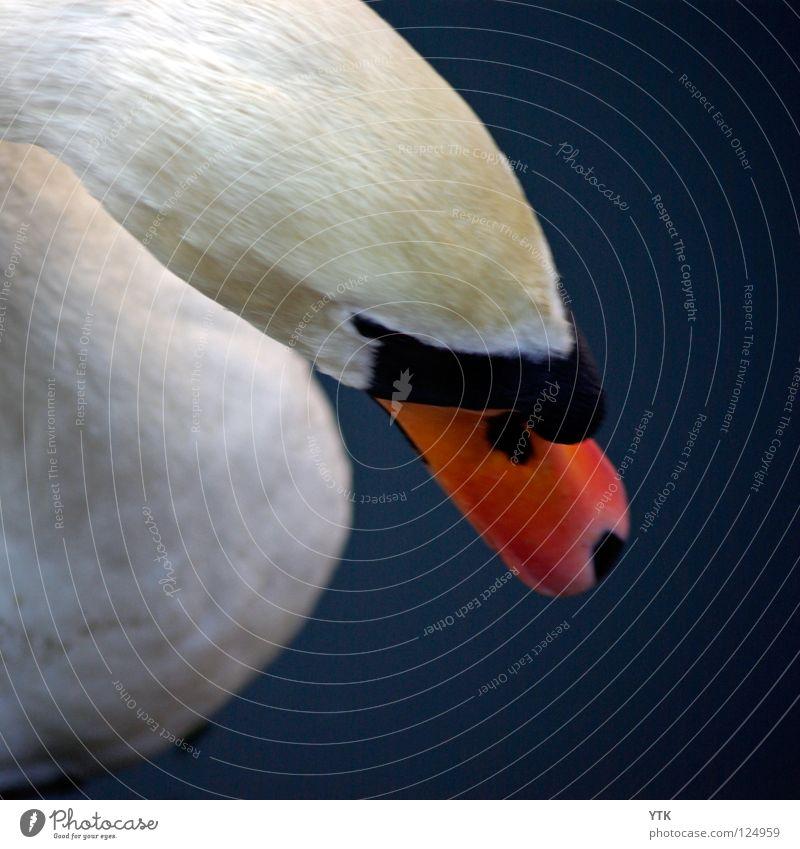 Cygnini Tier Vogel Schwan blau orange weiß Feder Kopf Schnabel Teich Schwimmsport nass Anmut gefährlich beißen Strukturen & Formen Metallfeder Daunen Zoo