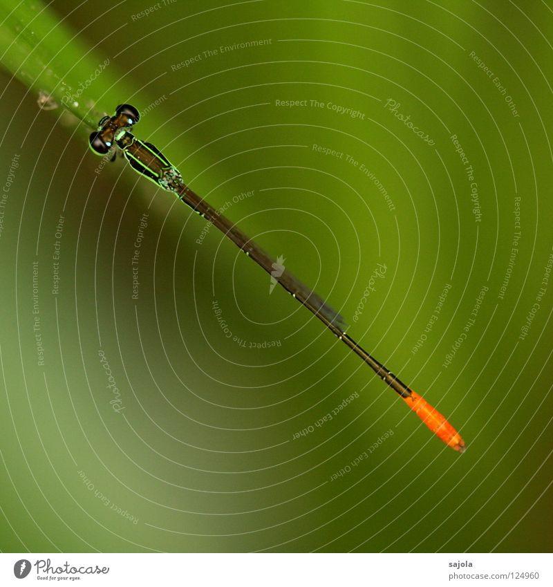 strich in der landschaft Natur Tier Wildtier Klein Libelle Insekt 1 Linie dünn grün hellgrün Facettenauge Hinterteil orange wasserjungfer Farbfoto Außenaufnahme