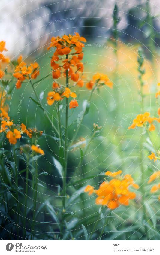 Farbenspielerei Umwelt Natur Pflanze Frühling Sommer Schönes Wetter Blume Blüte Garten orange ästhetisch Vorgarten Farbfoto mehrfarbig Außenaufnahme Tag