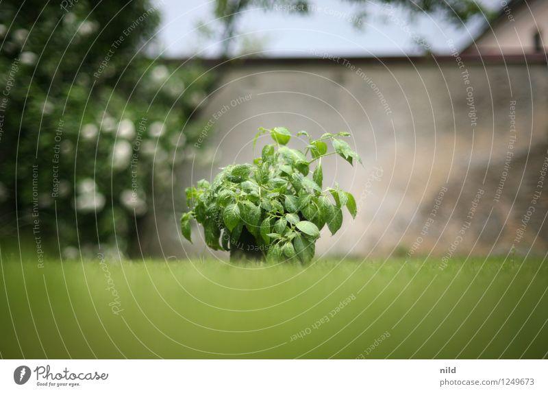 Gartenkraut Natur Pflanze grün Sommer Umwelt Frühling Lebensmittel frisch Ernährung Kochen & Garen & Backen Kräuter & Gewürze Bioprodukte Hinterhof Grünpflanze