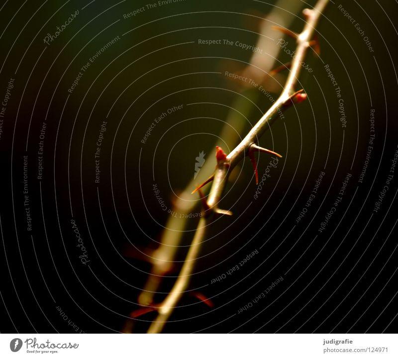 Dornen Natur Pflanze Farbe dunkel Umwelt braun Wachstum Spitze Blütenknospen Zweig stachelig Stachel gedeihen wehren wehrhaft