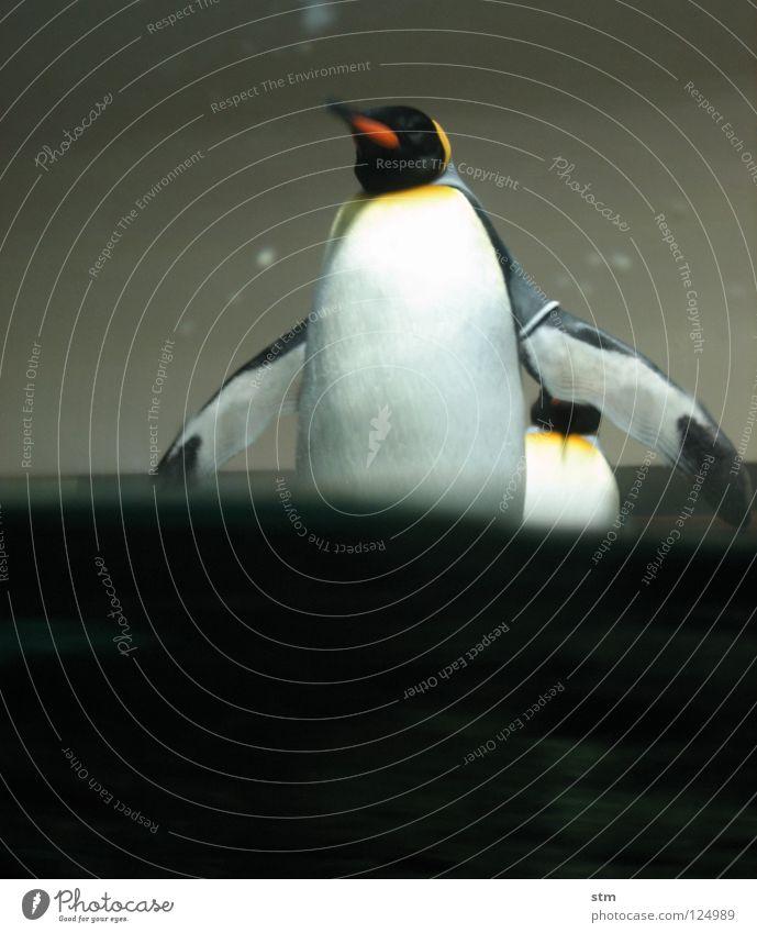 ... warte nur balde ... Pinguin Königspinguine Zoo Spielen Tier kommen nähern spritzen Tiergarten Freude Ausstellung Antarktis Wasser penguin Arme Schwimmhilfe