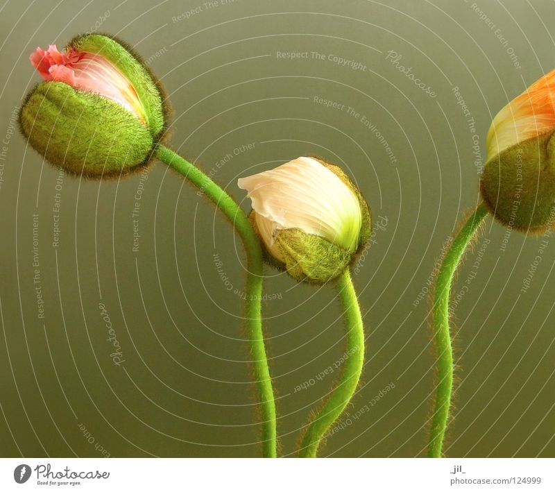 drei mohnblumen 2 schön Blume grün Pflanze braun orange rosa Beginn 3 rund zart Kugel Mohn Zärtlichkeiten Kuscheln khakigrün