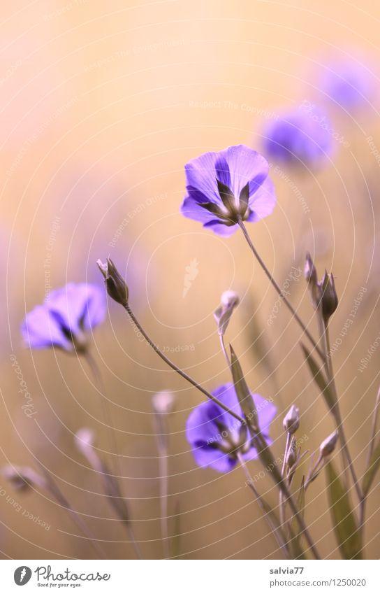 Leinblüten harmonisch Wohlgefühl Sinnesorgane Erholung Meditation Duft Natur Pflanze Sommer Blume Blüte Feld Blühend träumen Wachstum ästhetisch retro schön