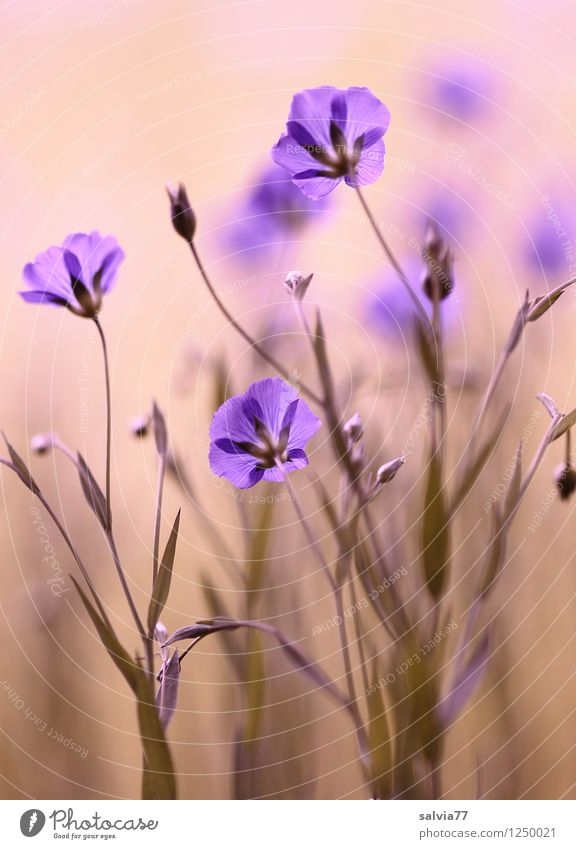 Blütenzauber Natur Pflanze blau Sommer Blume Erholung Blatt ruhig Leben Blüte Frühling natürlich Gesundheit träumen Zufriedenheit Blühend