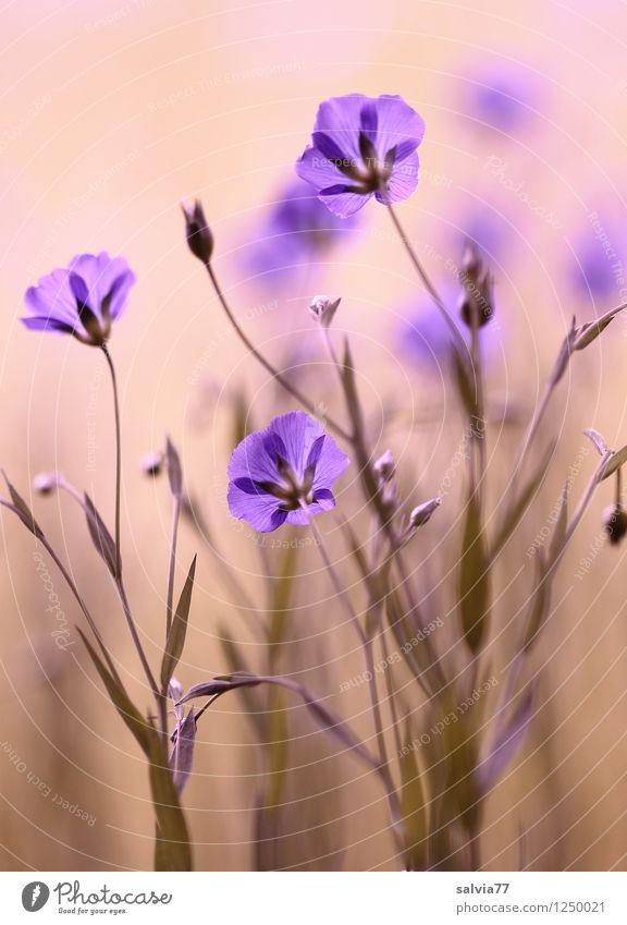 Blütenzauber Natur Pflanze blau Sommer Blume Erholung Blatt ruhig Leben Frühling natürlich Gesundheit träumen Zufriedenheit Blühend