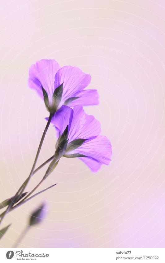 lila zart Natur blau Pflanze schön Sommer Erholung ruhig Blüte Gesundheitswesen ästhetisch Blühend violett Wohlgefühl Duft durchsichtig