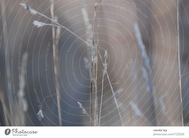 Gräser Gras Hintergrundbild zart filigran grau Stengel Halm Unschärfe Wildnis Umwelt Pflanze schön Makroaufnahme Nahaufnahme Herbst Natur Linie