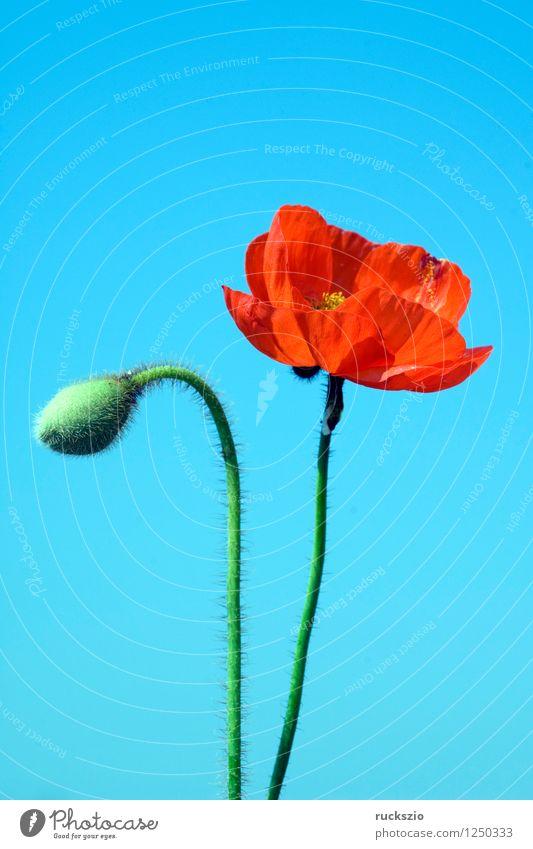 Klatschmohn; Papaver, rhoeas; Ackerpflanzen; Alternativmedizin Natur Pflanze Blume Blüte Wildpflanze Feld frei blau rot weiß rote Blueten Ackerunkraut