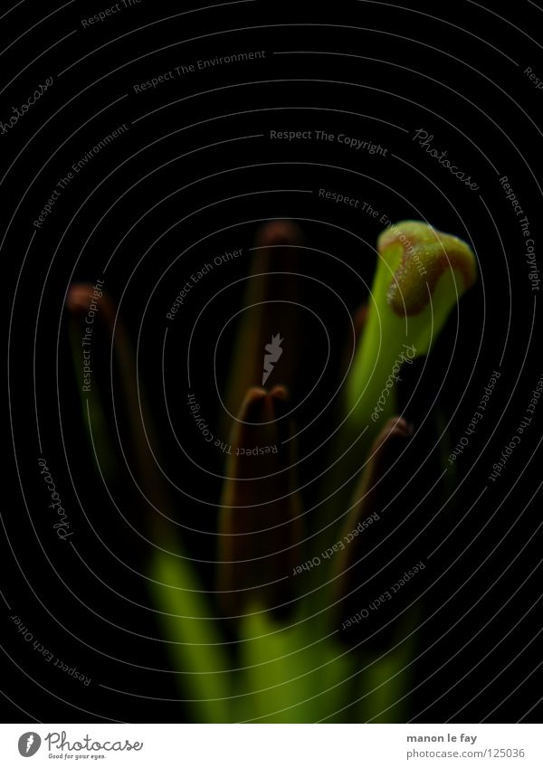 Gogila grün schwarz Pflanze Blüte skurril Leben Blütenstempel Staubfäden außergewöhnlich zart Lilien halbdunkel Liliengewächse Blume Makroaufnahme Nahaufnahme