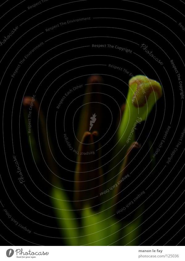 Gogila Natur Blume grün Pflanze schwarz Leben Blüte Linie Beleuchtung zart außergewöhnlich obskur skurril Staub Pollen Lilien