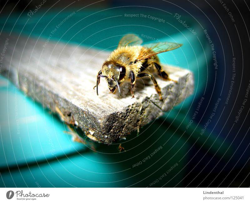 BEE Tier dunkel fliegen Flügel Show Biene Steg Fühler Sprungbrett Eimer Mittelpunkt