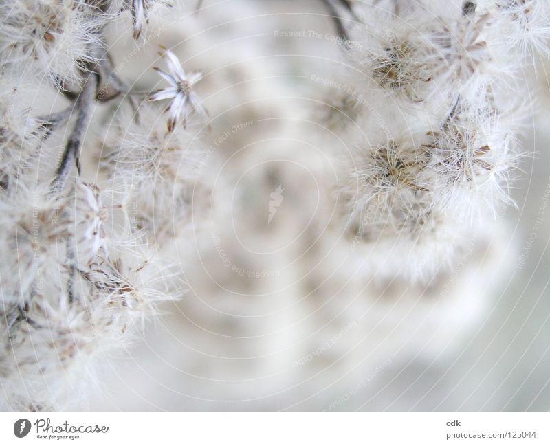 Winterblüte Pflanze Blüte Blume Sträucher Gras nah beige weiß braun Ton-in-Ton Monochrom Unschärfe zart klein weich luftig leicht trocken sensibel Konzentration