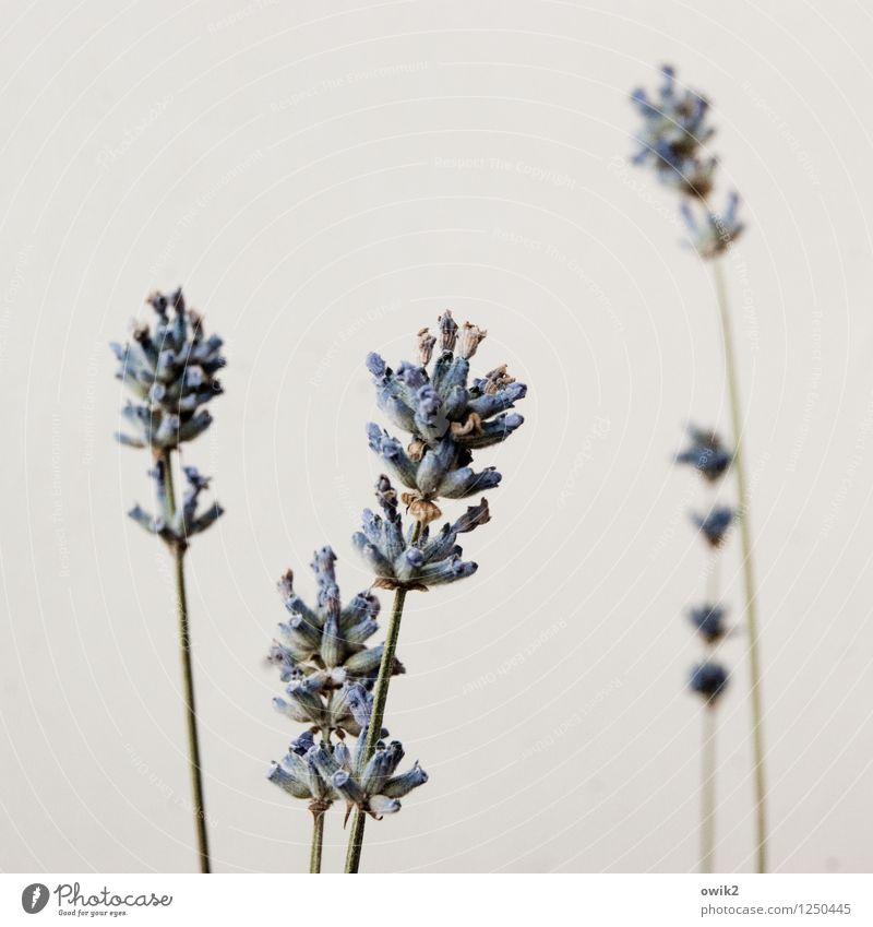 Unschuld vom Lande Natur Pflanze Blüte Nutzpflanze Topfpflanze Lavendel Kulturpflanze Stengel Duft dünn authentisch elegant natürlich Einigkeit Leben Identität