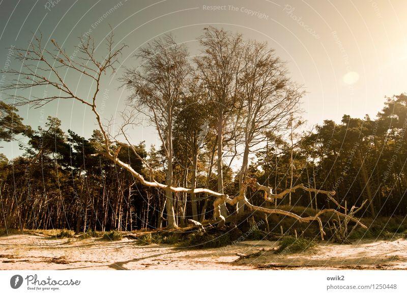 Wildholz Natur Ferien & Urlaub & Reisen Pflanze Baum Landschaft Strand Wald Umwelt Küste Holz Freiheit hell Deutschland Sand Tourismus Idylle