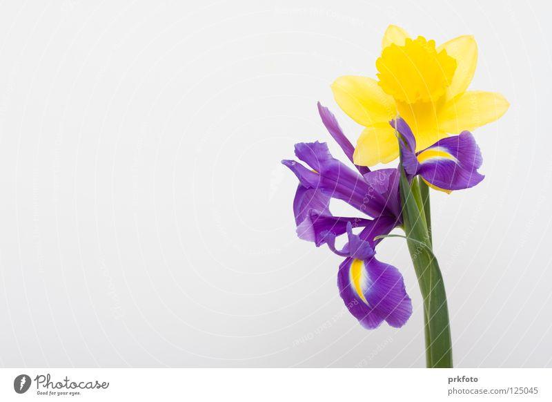 Narzisse und Iris Blume gelb Hintergrundbild Dekoration & Verzierung Glückwünsche Muttertag Narzissen Gratulation blau-weiß