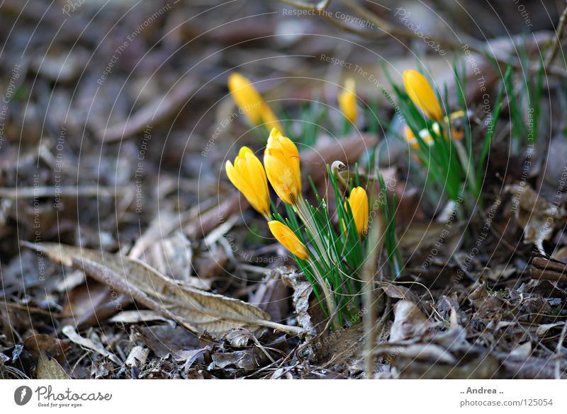 """Winter Ade"" Freude Frühling Blume Blühend dünn weich gelb violett orange Lebensfreude Lust geheimnisvoll Krokusse Frühblüher Zusteller Blütenstempel zart"