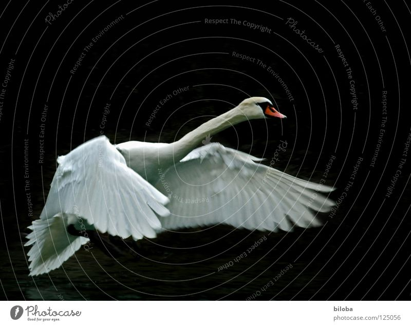 Weisser Schwan vor dunklem Hintergrund im Landeanflug Federvieh lang weich Anmut elegant Flügel schwarz weiß Vogel Gewässer See Brunft anstrengen kämpfen Tier