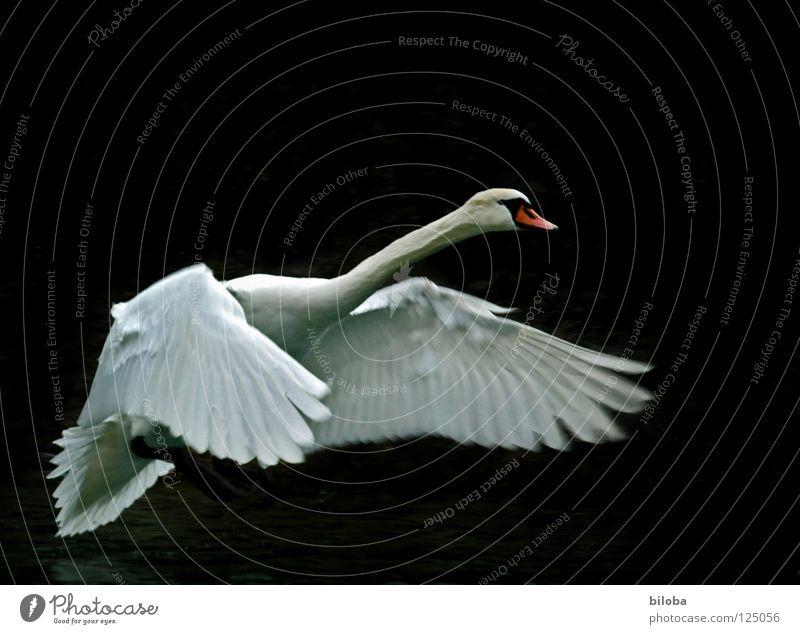 Wieder mal abheben! Wasser weiß Tier schwarz See Vogel Kraft fliegen elegant Kraft Feder Flügel weich Fluss lang Jagd